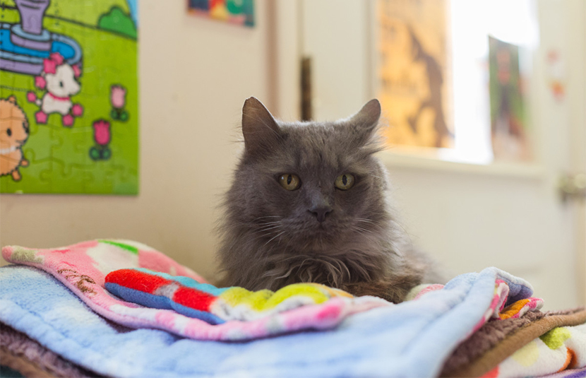 Grey furred cat with medical needs, Gilbert, rests on a pile of blankets