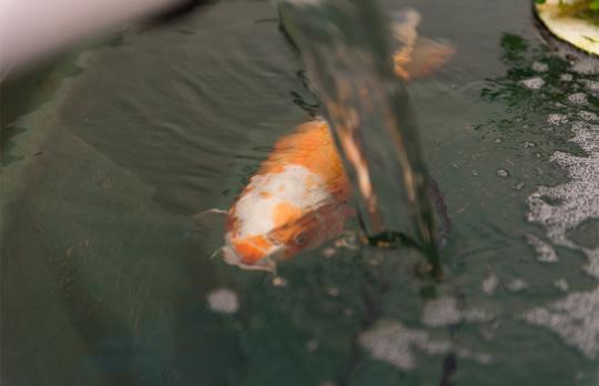 Bubble Yum the koi receives care for an infection