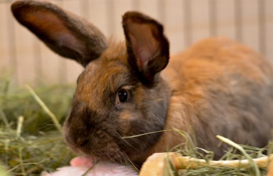 Hazel is a rich light brown bunny