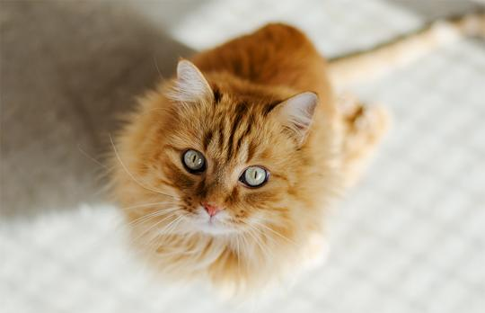 Hermes is a handsome long haired cat who is partially paralyzed.