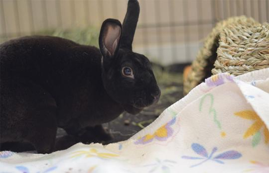 Toyota is a curious bunny with sleek balck fur