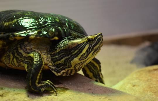 Toji the red-eared slider turtle