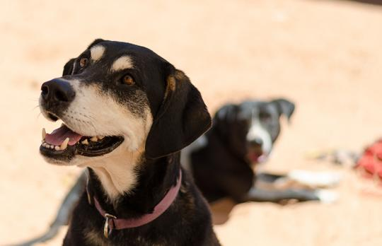 Elwood, hound mix dog, eagerly watches his caregiver while Annie rests in the background