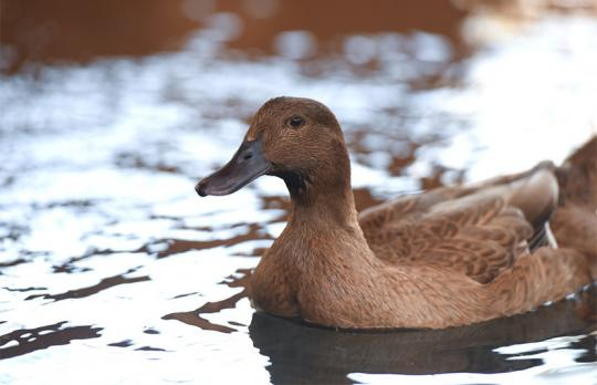 Java the runner duck