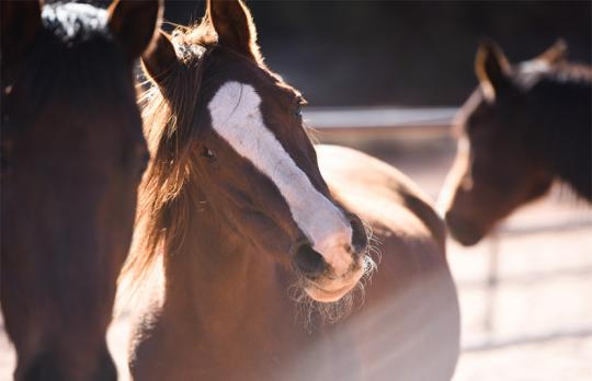 Beautiful Helen the Arabian horse.